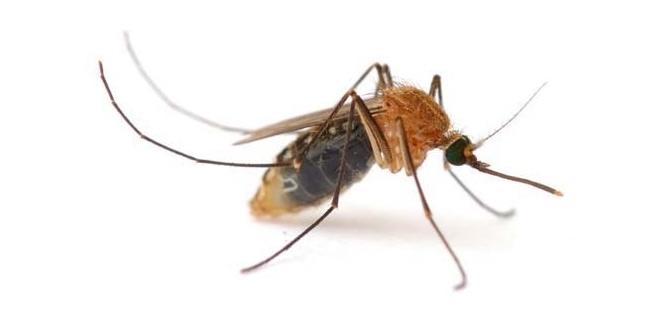 cuanto vive un mosquito wikipedia